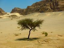 Árvore só no deserto Imagem de Stock Royalty Free
