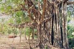 Árvore sagrado imagens de stock royalty free