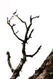 A árvore seca é isolada no branco Fotografia de Stock