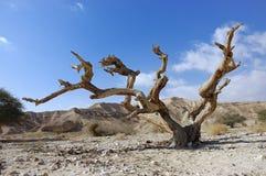 Árvore seca. fotografia de stock