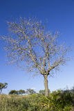 Árvore seca Foto de Stock Royalty Free