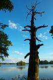A árvore seca Fotos de Stock Royalty Free