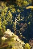 Árvore seca Imagem de Stock Royalty Free