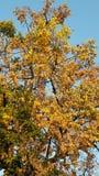 Árvore seca Fotografia de Stock Royalty Free