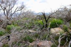 Árvore seca Imagens de Stock Royalty Free
