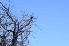 Árvore seca contra o céu azul Árvore de Apple com frutos secados O conceito do desastre ambiental, morte da planta Copie o espaço imagem de stock royalty free