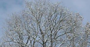 Árvore seca contra o céu com neve nos ramos na mola adiantada filme