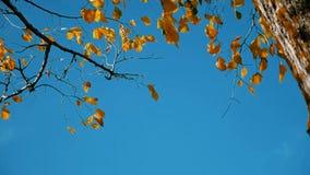 Árvore seca seca das folhas de outono da árvore contra o ramo do céu azul na natureza do fundo natureza da paisagem do conceito d vídeos de arquivo
