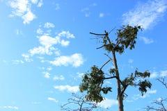 Árvore seca e céu azul Imagem de Stock Royalty Free