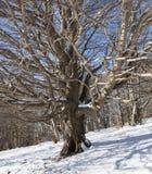 Árvore seca entre a neve branca da montanha fotos de stock royalty free