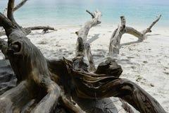 Árvore seca na costa de mar Imagens de Stock Royalty Free