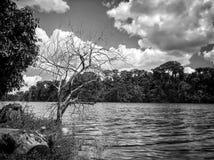 Árvore seca no lakeshore contra o céu nebuloso em preto e branco Fotografia de Stock