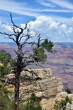Árvore seca sobre Grand Canyon Fotos de Stock