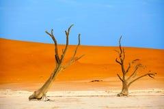 Árvore secada da acácia do camelo em dunas de areia alaranjadas e no fundo brilhante do céu azul, Namíbia, África meridional imagem de stock royalty free