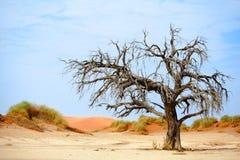 Árvore secada da acácia do camelo em dunas de areia alaranjadas e no fundo brilhante do céu azul, Namíbia, África meridional fotografia de stock