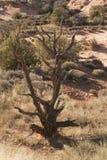 Árvore secada no parque nacional dos arcos Fotos de Stock Royalty Free
