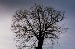 Árvore sem as folhas no fundo do céu imagem de stock