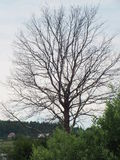 Árvore sem folha Fotos de Stock Royalty Free