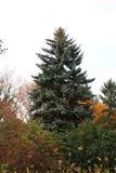 Árvore sempre-verde alta no outono Forest Park fotos de stock