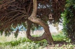 Árvore sinuoso grande das coníferas Fotos de Stock Royalty Free
