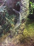 Árvore Skink em uma árvore que relaxa em um ramo no meio de uma selva foto de stock