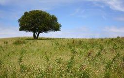 Árvore solitária Imagens de Stock Royalty Free