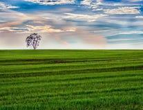 Árvore solitária da manhã no campo verde com nascer do sol fotografia de stock royalty free