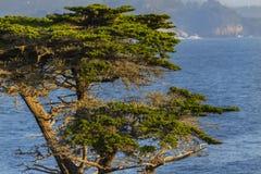 Árvore solitária de Cyrpess no litoral de Califórnia fotos de stock royalty free