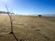 A árvore solitária e os surfistas que andam ao longo de oregon encalham Fotos de Stock Royalty Free