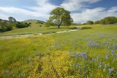 Árvore solitária e ramalhete colorido das flores da mola que florescem fora da rota 58 na estrada de Shell Creek, a oeste de Bake Fotografia de Stock