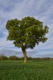 Árvore solitária em um campo Fotos de Stock