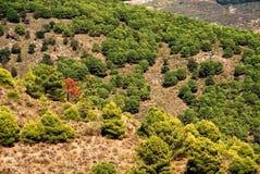 Árvore solitária, girando outonal entre os pinhos Imagem de Stock