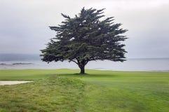 Árvore solitária no campo de golfe de Pebble Beach ao longo da baía de Monterey fotos de stock royalty free