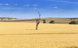 Árvore solitária no campo de trigo em Novo Gales do Sul, Austrália Foto de Stock