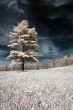 Árvore solitária no IR Fotos de Stock