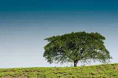 Árvore solitária no monte Foto de Stock Royalty Free