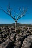 Árvore solitária no pavimento de pedra calcária Imagem de Stock Royalty Free