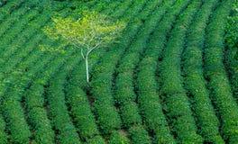Árvore solitária que aumenta de uma plantação de chá Imagem de Stock Royalty Free