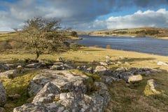 Árvore solitária que negligencia o reservatório de Siblyback, Cornualha fotos de stock royalty free