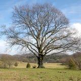 Árvore solitário grande Foto de Stock Royalty Free