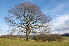 Árvore solitário grande Fotos de Stock