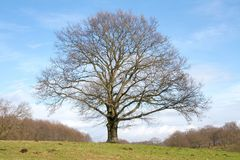 Árvore solitário grande Fotografia de Stock