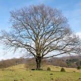 Árvore solitário grande Foto de Stock