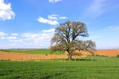 Árvore sozinha - carvalho das pessoas de 300 anos Imagens de Stock Royalty Free