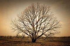 Árvore sozinha desencapada no fundo escuro Fotos de Stock
