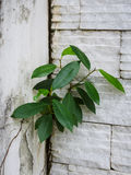 A árvore sozinha está crescendo na parede Imagens de Stock Royalty Free