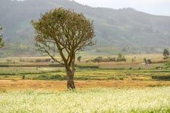 árvore sozinha no campo da mostarda com a flor branca em DonDuong - Dalat- Vietname imagens de stock royalty free