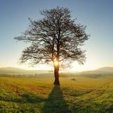 Árvore sozinha no prado no por do sol com sol e névoa - panorama Imagem de Stock Royalty Free