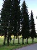 Árvore Spruce Fotografia de Stock Royalty Free