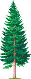 Árvore Spruce Fotos de Stock